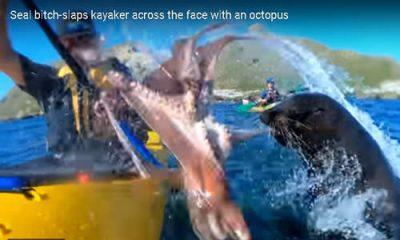 Seal brandishing Octopus